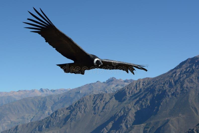 在峡谷科尔卡的飞行的安第斯秃鹰 免版税库存照片