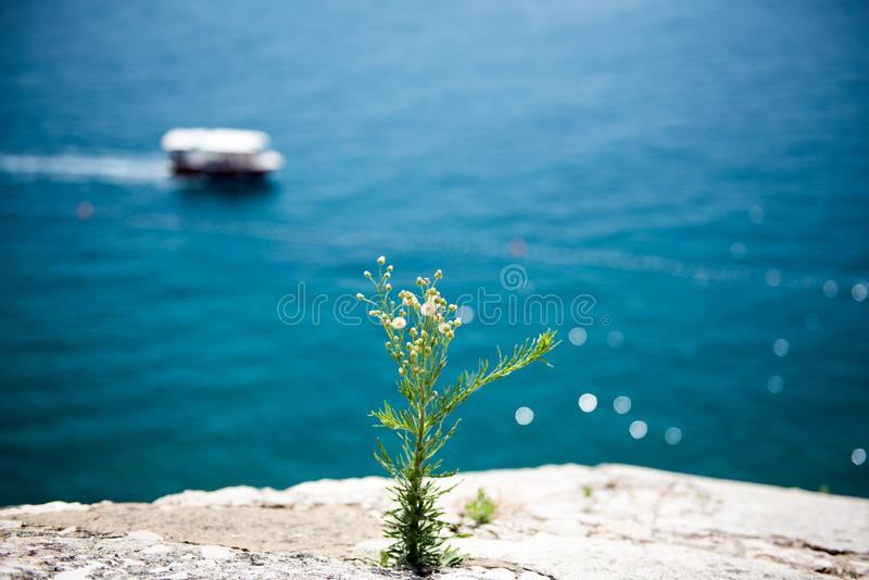 在峭壁的一朵开花的花在海附近 库存照片