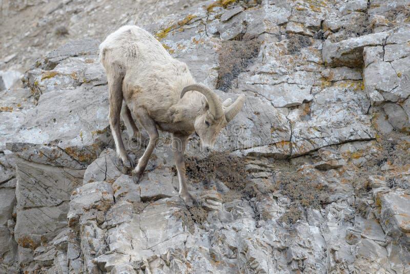 在峭壁的大角野绵羊公羊 免版税库存照片