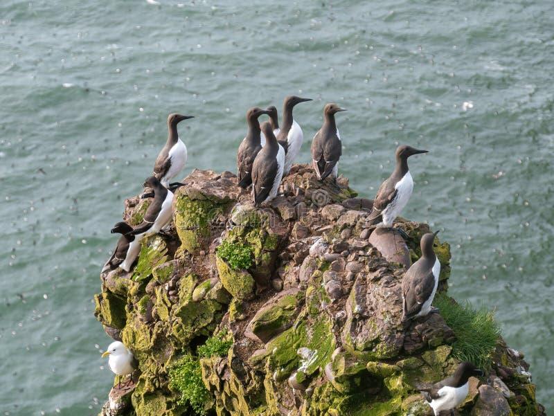 在峭壁边缘的一海雀科的鸟尿aalge在五月岛 库存照片