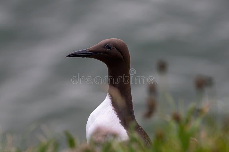在峭壁边缘的一海雀科的鸟尿aalge在五月岛 库存图片