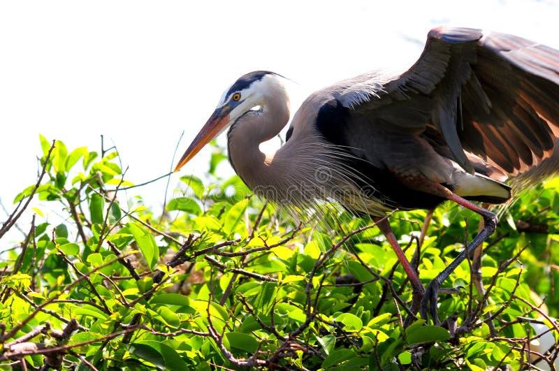 在嵌套的伟大蓝色的苍鹭的巢 免版税库存照片