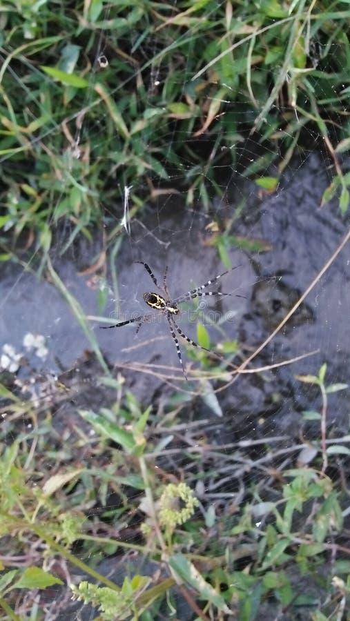 在巢的一只蜘蛛 库存图片