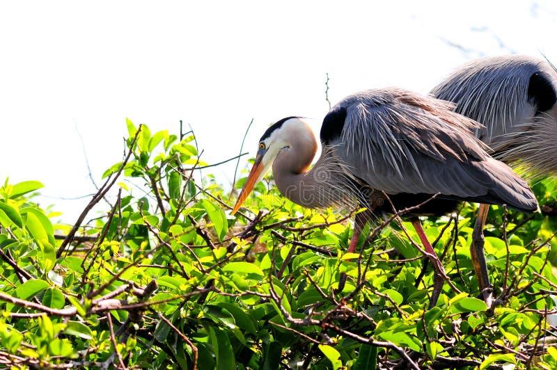 在巢的伟大蓝色的苍鹭的巢在佛罗里达 库存图片