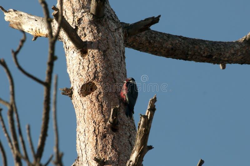 在巢的刘易斯的啄木鸟 库存图片