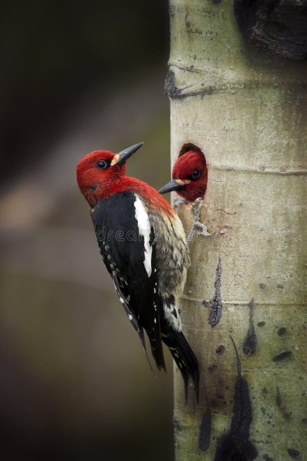 在巢的啄木鸟啄木鸟 免版税图库摄影