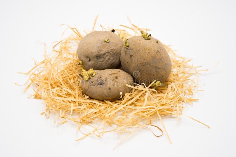在巢的土豆与被隔绝的白色背景射击在演播室 库存图片