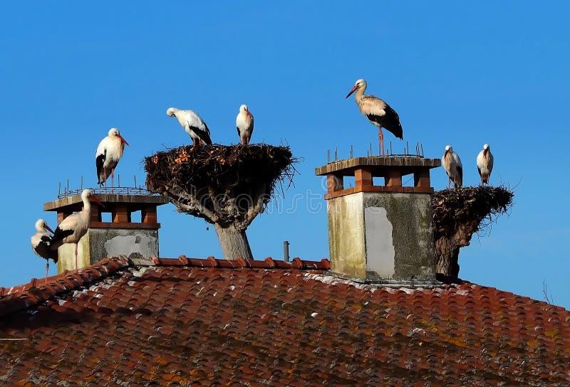 在巢的大鹳家庭在树顶部和在前面房子烟囱和屋顶 免版税库存图片
