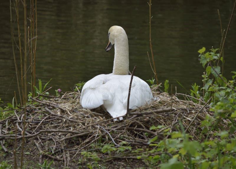 在巢的天鹅 免版税库存照片