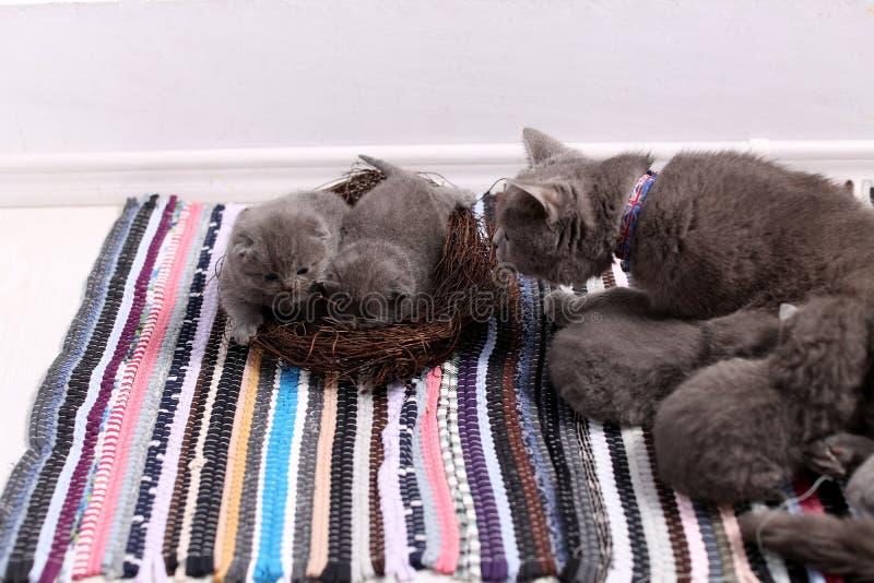 在巢的小猫 图库摄影