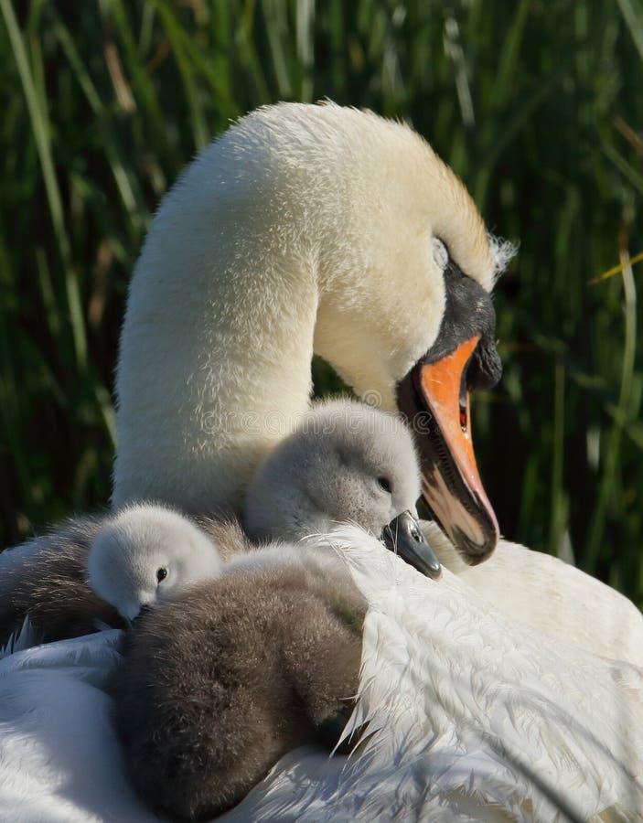 在巢的疣鼻天鹅小天鹅 免版税图库摄影