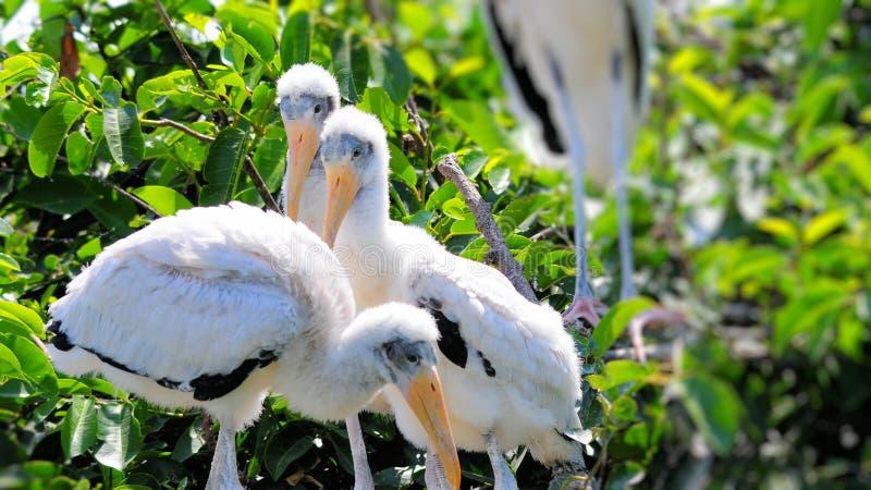 在巢的白色木鹳家庭 免版税图库摄影