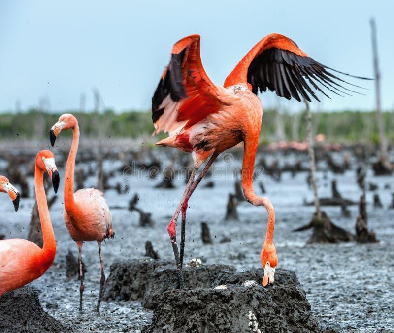 在巢的美国火鸟 库存图片