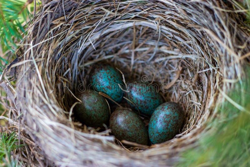 在巢的蛋小鸡在树枝关闭在春天在阳光下 库存照片