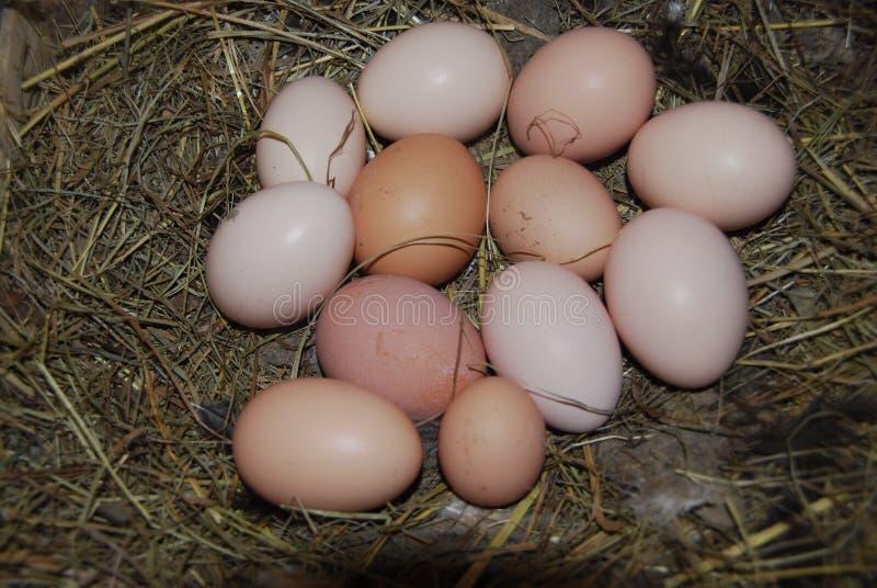 在巢的许多鸡鸡蛋 库存图片