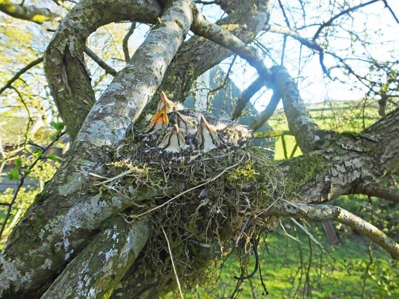 在巢的鹅口疮小鸡在树爱尔兰 图库摄影