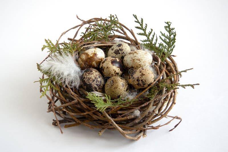 在巢的鹌鹑蛋与在白色背景的羽毛 免版税库存照片