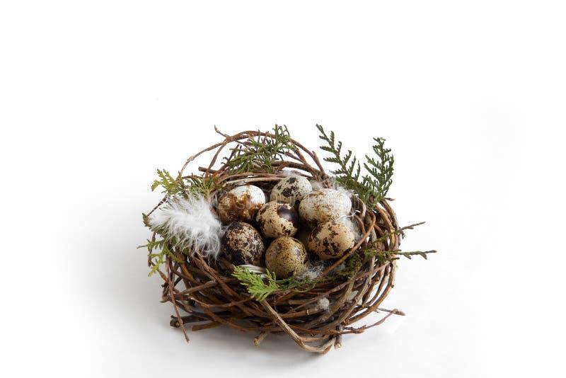 在巢的鹌鹑蛋与在白色背景,复活节概念的羽毛 免版税库存图片