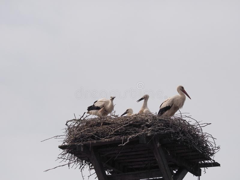 在巢的鹳家庭 免版税库存照片