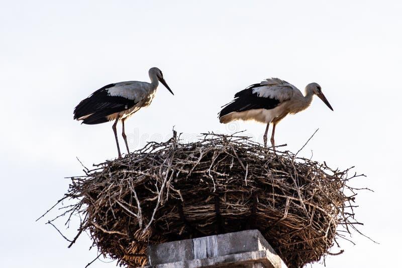 在巢的2只鹳在房子的屋顶 免版税库存照片