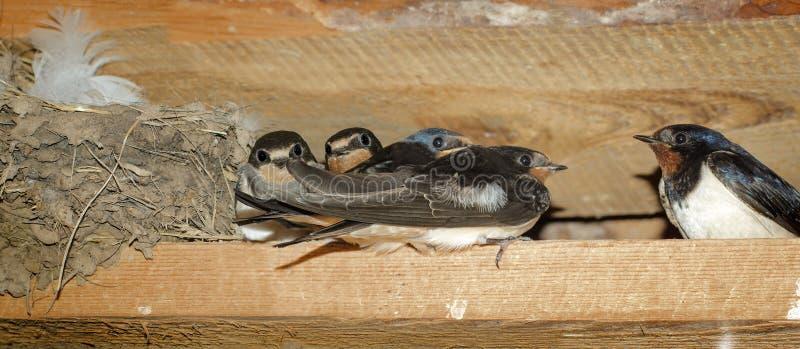 在巢附近的家燕家庭 免版税库存图片