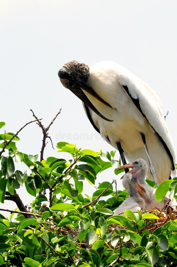 在巢,佛罗里达的沙哑的白色木鹳 图库摄影