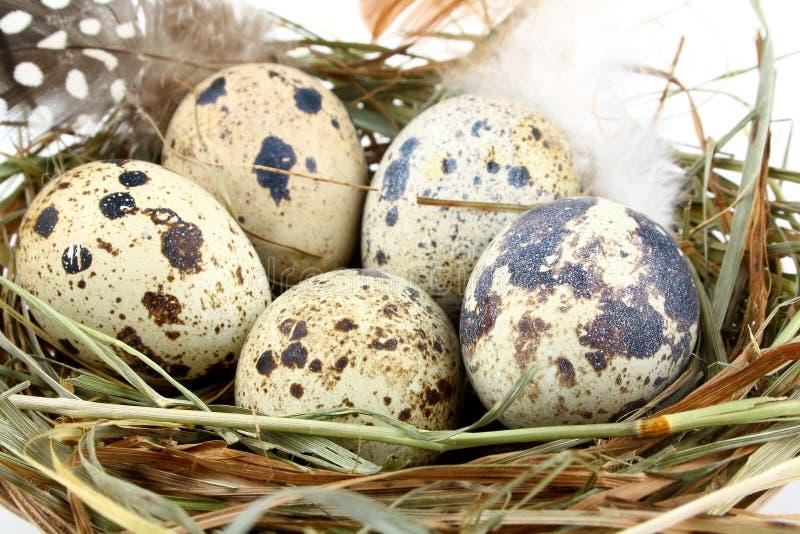 在巢的五个鹌鹑蛋 免版税库存照片
