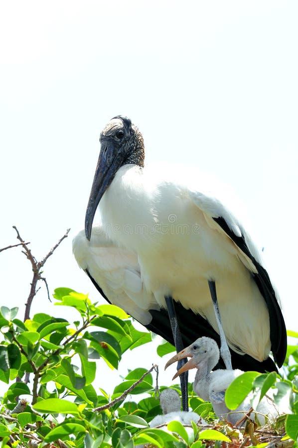 在巢,德尔雷比奇,佛罗里达的白色木鹳家庭 库存照片