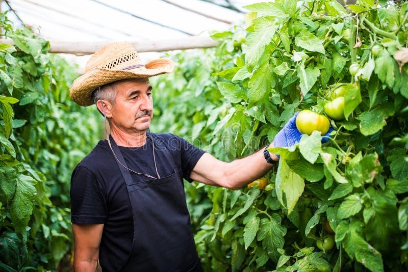 在工作检查蕃茄的友好的农夫自温室 库存照片
