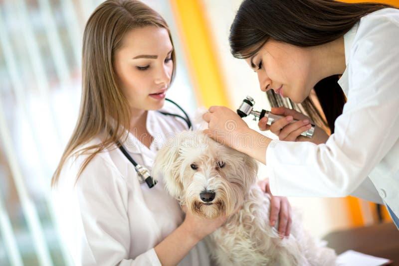 在工作检查马尔他耳朵的兽医在可移动的狩医 免版税库存照片