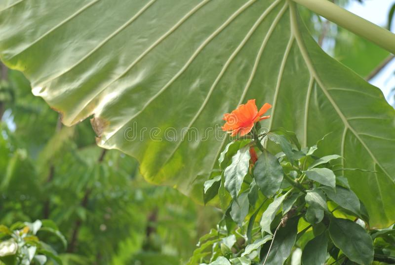 在巨型叶子后的未知的红色花 库存图片