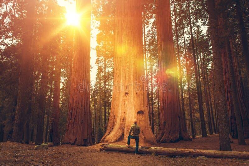 在巨型美国加州红杉前面的远足者 库存照片