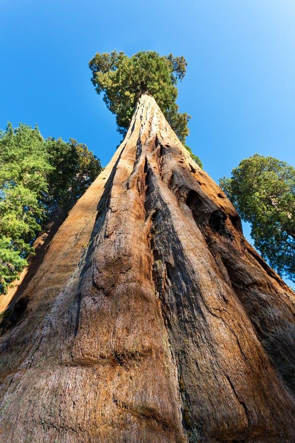 在巨大的红木树的底视图 免版税库存照片