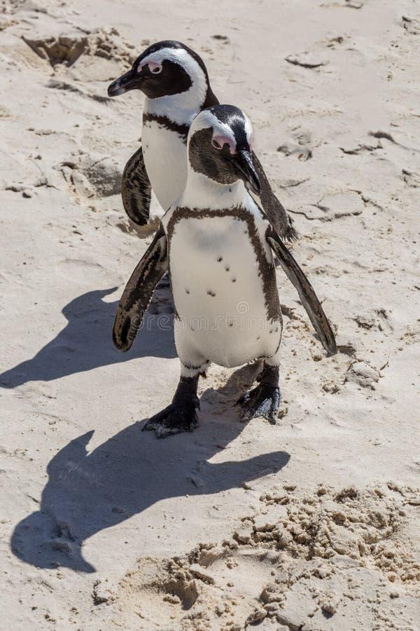 在巨石城海滩的非洲企鹅 库存照片