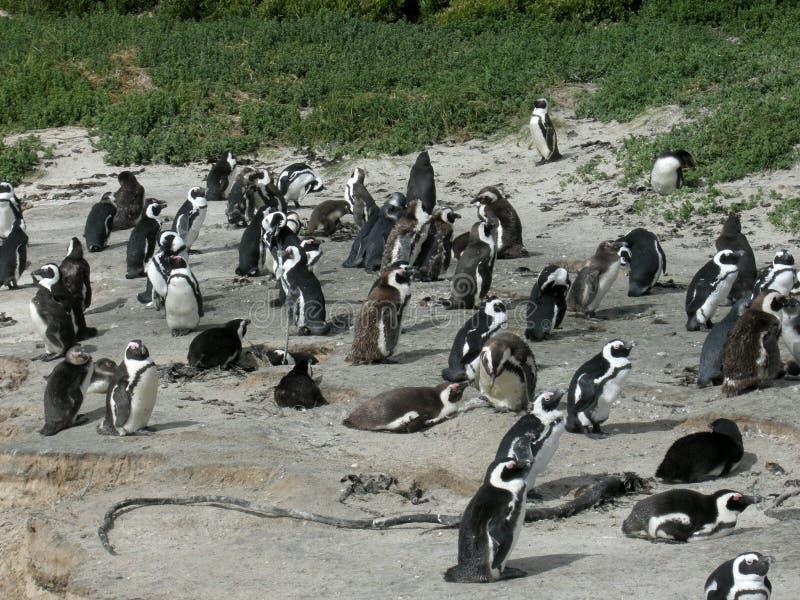 在巨石城海滩的愉快的非洲penquin在西蒙镇 免版税库存照片