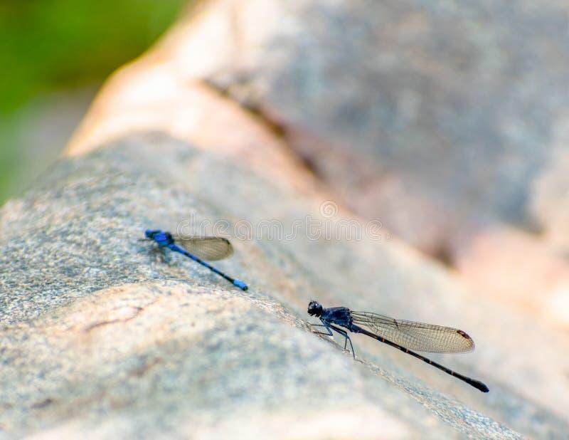 在巨石城的两只蜻蜓 库存图片