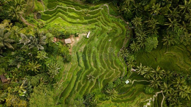 在巴厘岛海岛的米领域的航拍 免版税库存照片