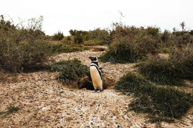 在巴塔哥尼亚半岛de valdes阿根廷,麦哲伦企鹅的企鹅 库存照片