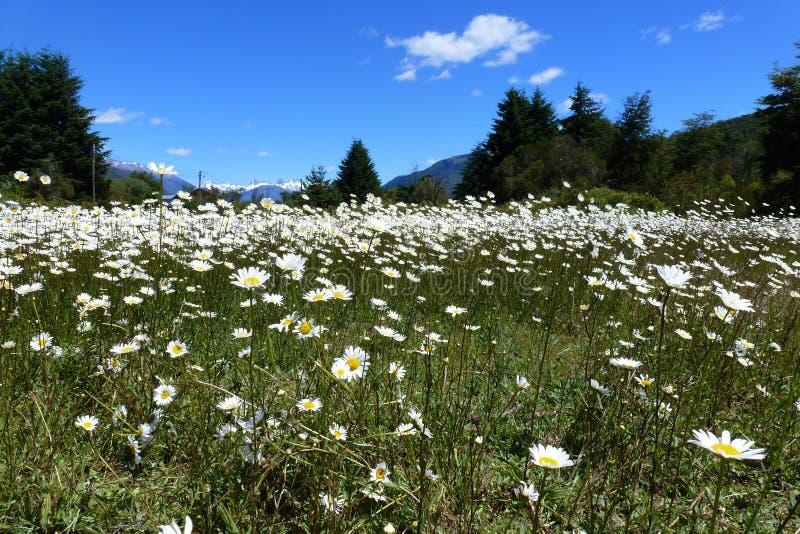 在巴塔哥尼亚的雏菊领域 免版税库存图片