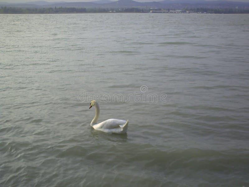 在巴拉顿湖,匈牙利的天鹅 免版税库存照片