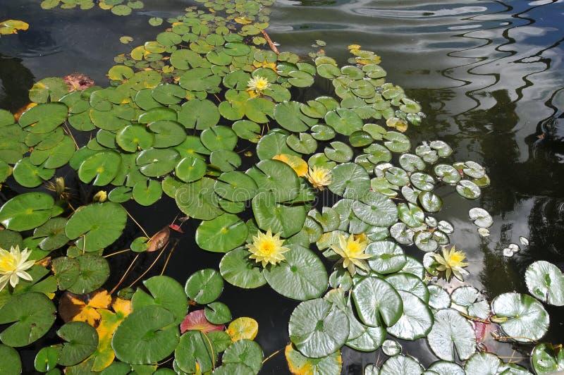 在巴波亚公园-与叶子星莲属的黄色绽放的Waterlilies 库存照片