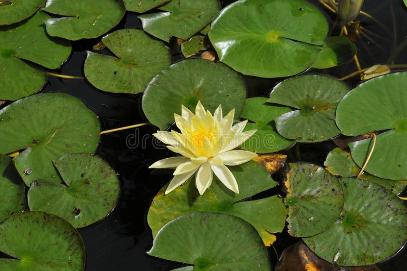 在巴波亚公园-与叶子星莲属的黄色绽放的Waterlilies 免版税库存照片