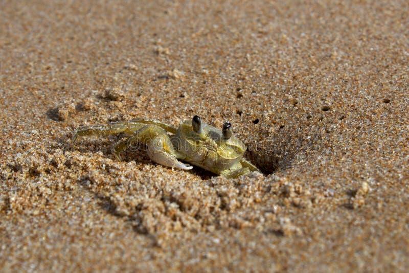 在巴西海滩的螃蟹 库存照片