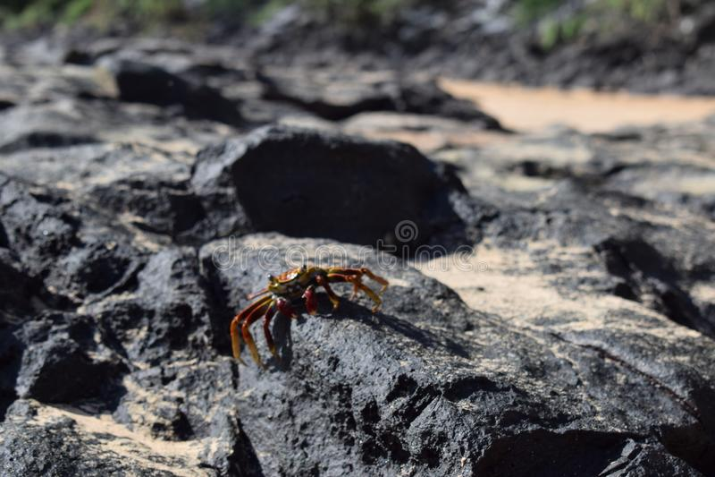在巴西的五颜六色的螃蟹 免版税图库摄影
