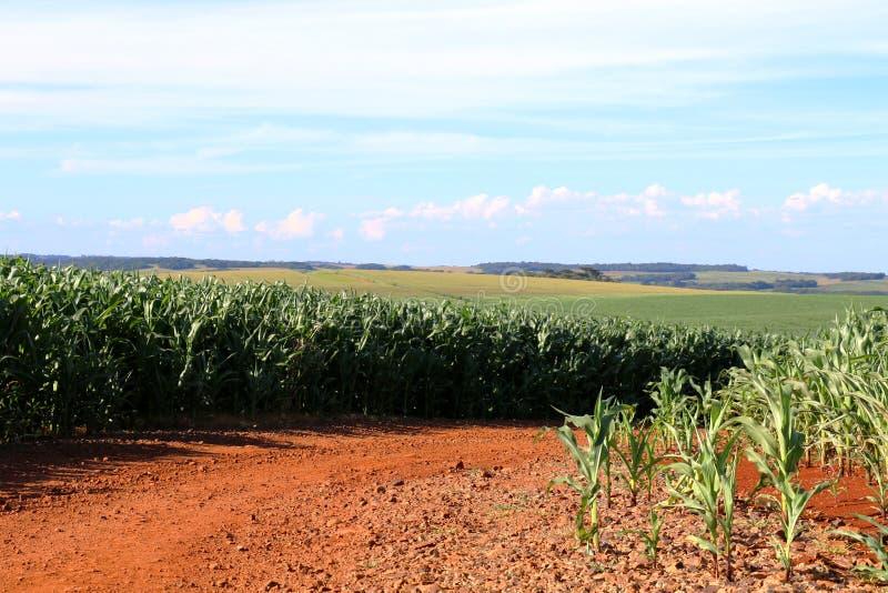 在巴西的南部的玉米耕种 生长在行的美好的甜玉米领域 图库摄影