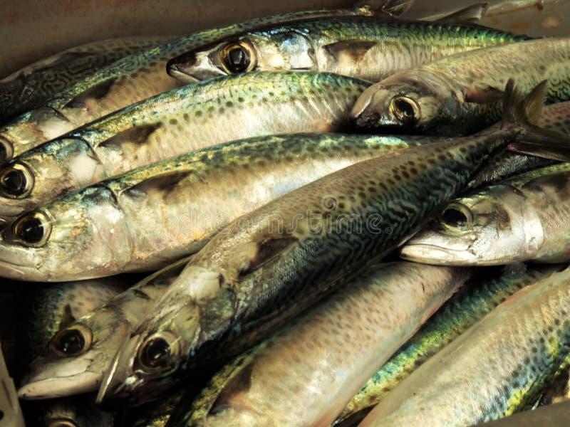 在市场摊位的新鲜的鲭鱼 库存图片