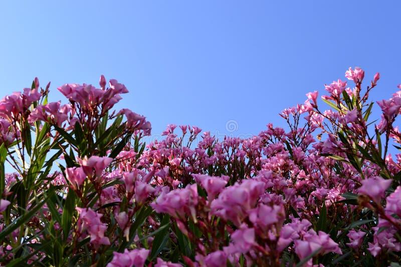 在布什的桃红色花 库存照片
