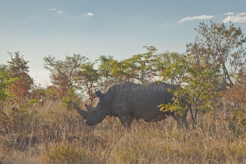 在布什的野生白色犀牛,赞比亚 库存图片