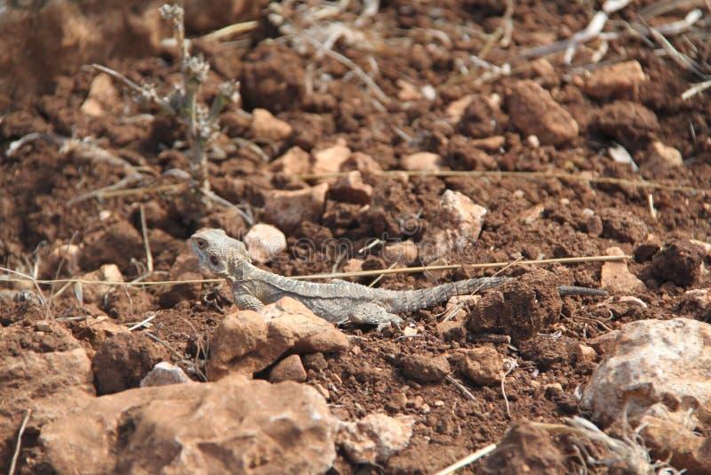 在布朗土壤的灰色蜥蜴 库存照片
