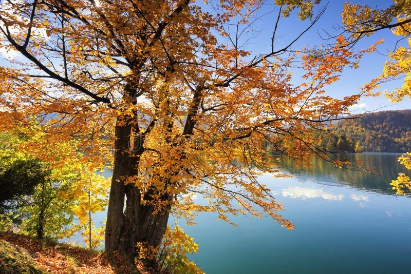 在布莱德湖,斯洛文尼亚的金黄秋天树 库存照片